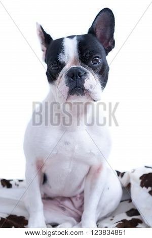 Serious black and white Frenchie looking at camera