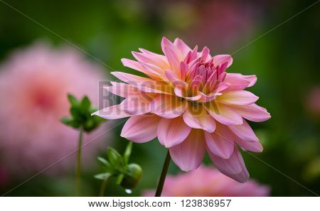 Closeup of a beautiful pink pastel colored dahlia fower in a garden environment