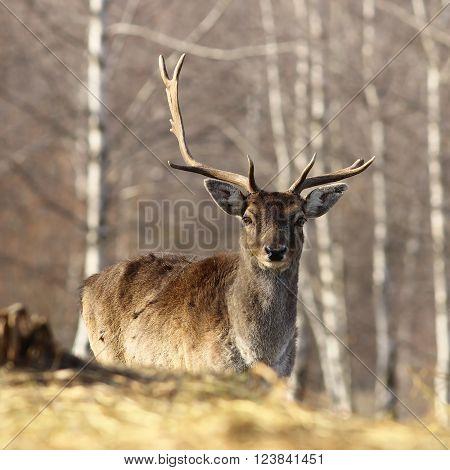 portrait of fallow deer buck with broken antler, looking at the camera( Dama dama )
