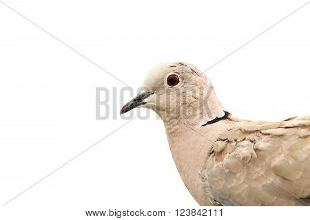turtledove portrait isolated over white background ( Streptopelia decaocto )