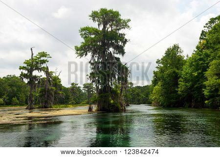 Swamp cypress tree with hanging spanish moss growingin in Wakulla River Florida USA