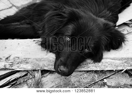 Close-up portrait of homeless black dog with sad eyes outdoors looking at camera