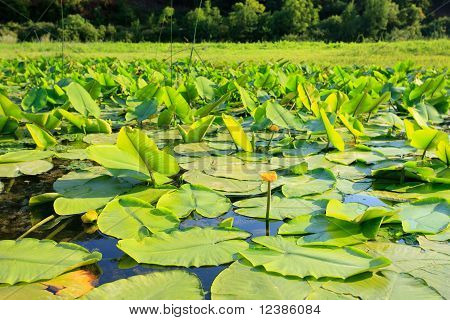 Lillypads And Flower