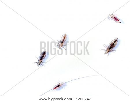 some head lice isolated on white background poster