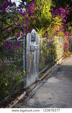 View of old wooden gate on quaint street with blooming purple bougainvilleas and other tropical plants in Key West, Florida Keys, USA.