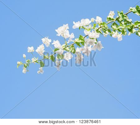 White blooming bougainvilleas against the light  blue sky.