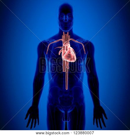 The heart is a muscular organ in humans and other animals, which pumps blood through the blood vessels of the circulatory system.[1] Blood provides the body with oxygen and nutrients, and also assists in the removal of metabolic wastes The heart is locate
