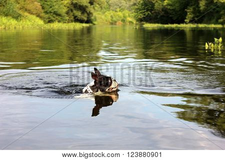Boston terrier dog swimming in river. Head of dog in river. Head of swimming boston terrier dog in the water. ** Note: Soft Focus at 100%, best at smaller sizes