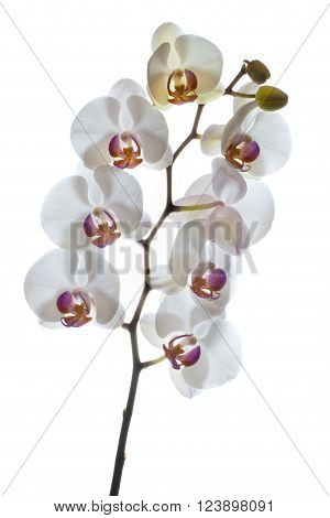 Orchids in High Key Orchids, a diverse and widespread family of flowering plants