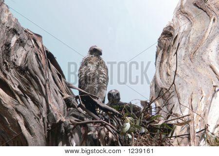 Brown Gosshawk Chicks