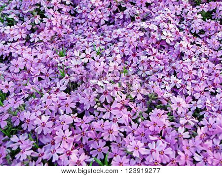 Violet flower carpet of flowers phlox styloid (spring blossom)