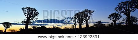 Quiver Tree Forest outside of Keetmanshoop, Namibia at night start. Magical silhouette against mystical sunset poster
