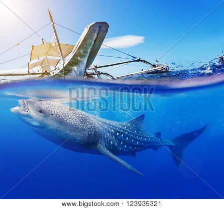 Underwater shoot of a gigantic whale shark with boat