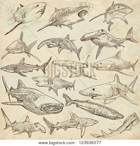 Animals SHARKS Chordata. Collection of an hand drawn illustrations. Description Full sized hand drawn illustrations - freehand sketches. Drawings on old paper.
