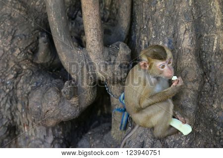 Cute little monkey being chained to old big tree holding and nibbling a piece of fresh green mango