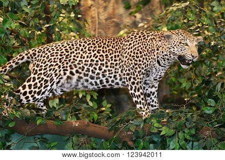 Stuffed Leopard Panthera Pardus On The Tree