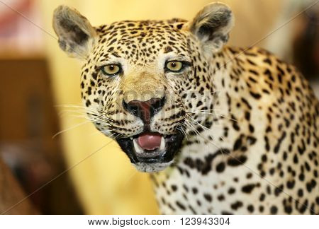 Taxidermy Of A Leopard Panthera Pardus In The Jungle