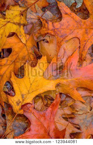 Autumn Leaves - Vivid colors of fallen oak leaves