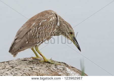 Immature Black-crowned Night Heron (Nycticorax nycticorax) Stalking its Prey - Florida