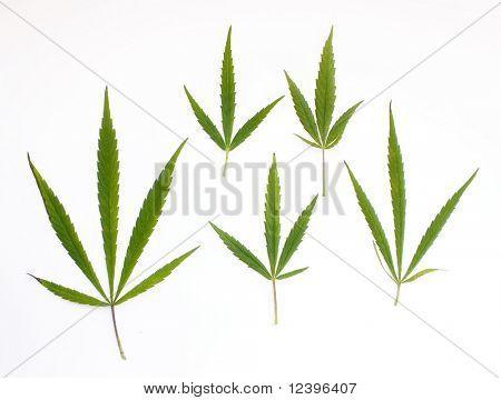 marijuana leaves on the white background