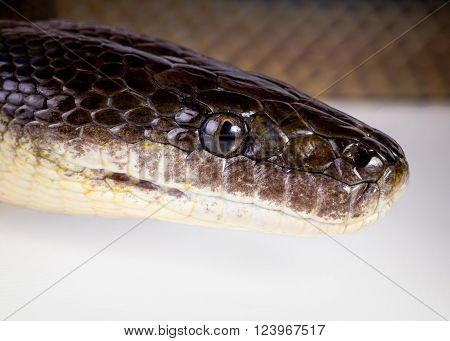 a closeup of a water python on a white background