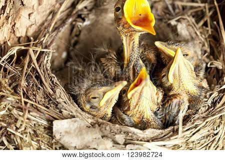 young blackbird nestling (Turdus merula) in nest
