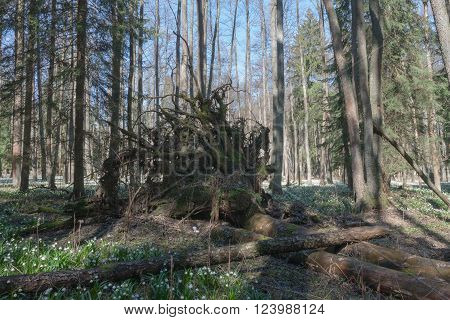 Uprooted Tree In Nature Reserve In Spring Morning