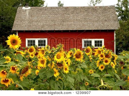 Red Barn And Sunflowers