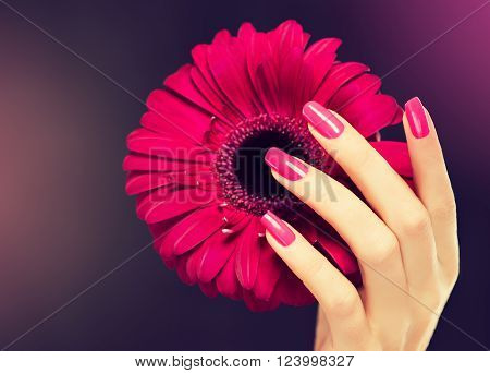 Elegant female hands with pink manicure on the nails . Beautiful fingers holding a  gerbera .