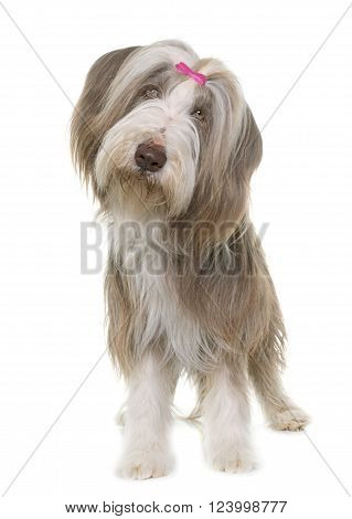 female bearded collie in front of white background