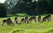 an impala antelope herd grazing in a game park in south africa ** Note: Slight blurriness, best at smaller sizes poster