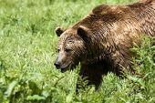 brown bear ( Ursus arctos ) looking for food poster