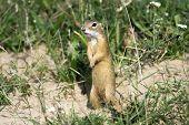 European ground squirrel on the grass / Spermophilus citellus poster