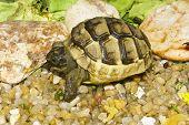 juvenile of greek turtle on sand / Testudo graeca ibera poster