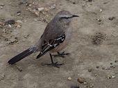A wild Patagonian Mocking Bird (Mimus patagonicus) poster