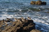 Wandering Tattler, Pacific coast birds on the ocean background poster