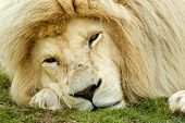 sleepy looking white lion with his face on the ground poster
