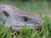 eastern blue tongue lizard sneaking along grass lawn poster