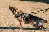 Furious German shepherd dog training. Biting dog. Alsatian Wolf Dog. Deutscher, dog poster