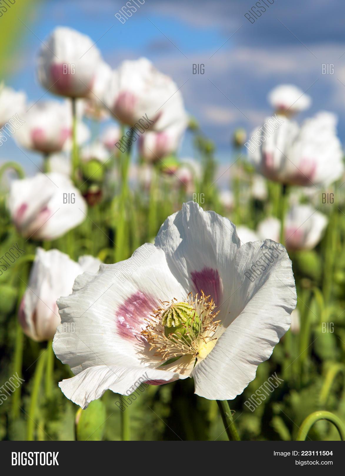 Detail Flowering Opium Image Photo Free Trial Bigstock
