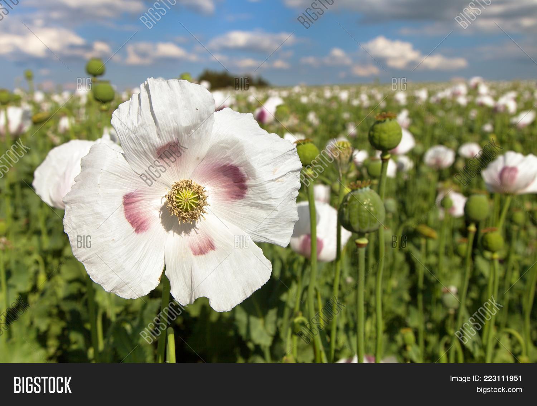 Detail Flowering Opium Poppy Latin Image Photo Bigstock