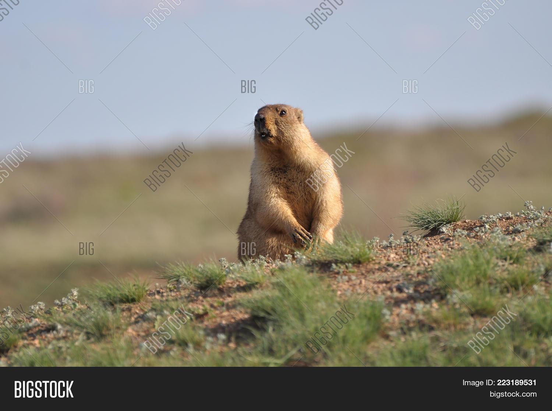 Groundhog On Guard Post, Funny Image & Photo
