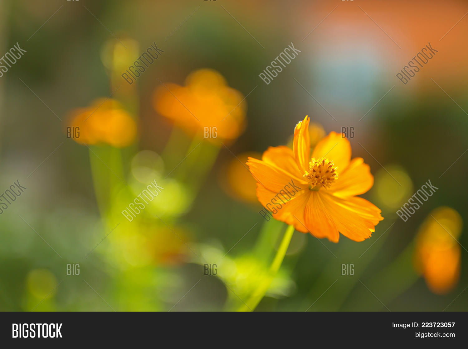Yellow cosmos flower known sulfur image photo bigstock yellow cosmos flower known as sulfur cosmos with blurred green garden background cosmos sulphureus mightylinksfo