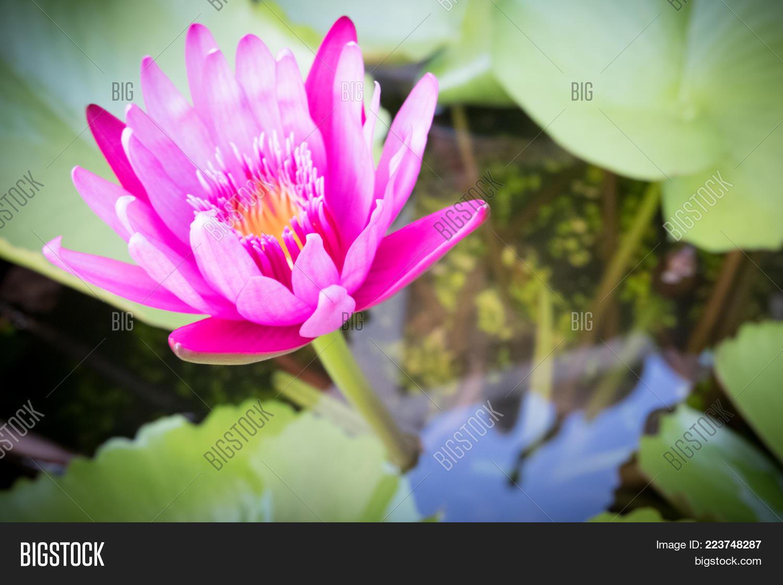 Pink Lotus Flower Lotus Flower Image Photo Bigstock