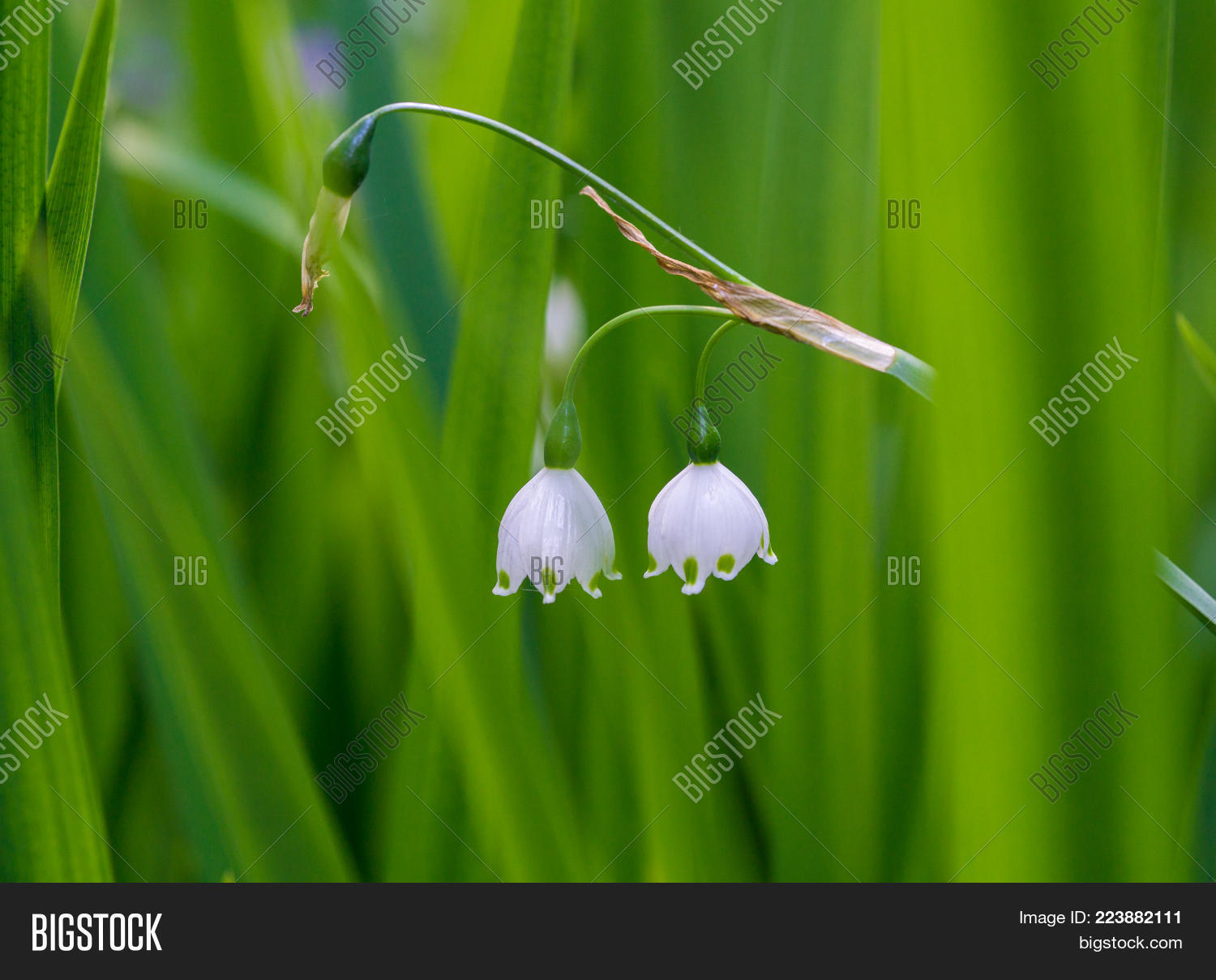 Lily Valley Image Photo Free Trial Bigstock
