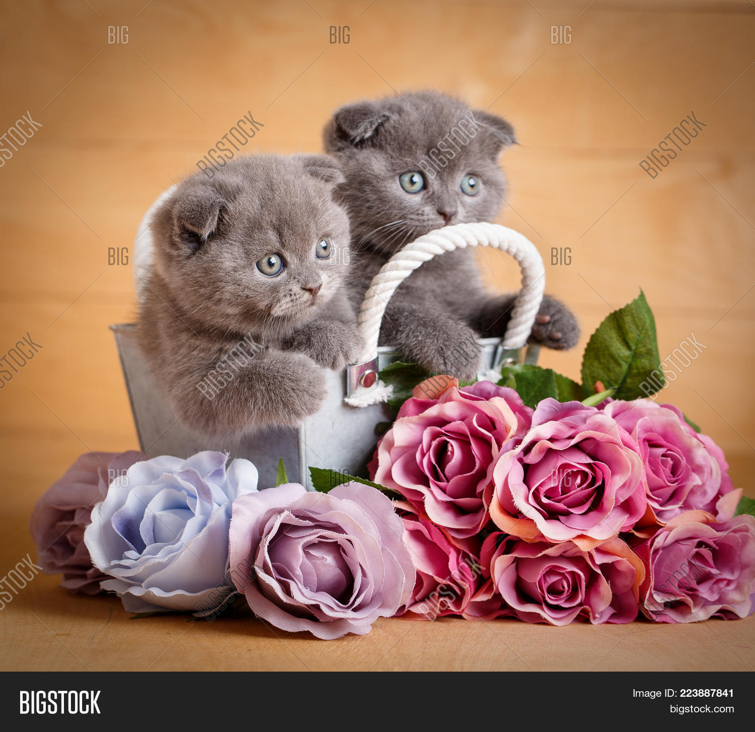 Kittens Scottish Cat Image Photo Free Trial Bigstock