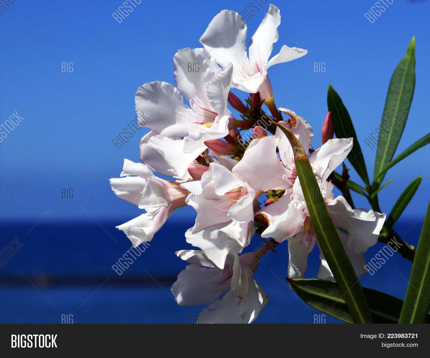 White Oleander Flowers Image Photo Free Trial Bigstock