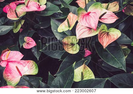 Spring scenes of pink anthurium, laceleaf and tailflower,  blooming flowers in the garden with abstract green soft vintage nature background and wallpaper