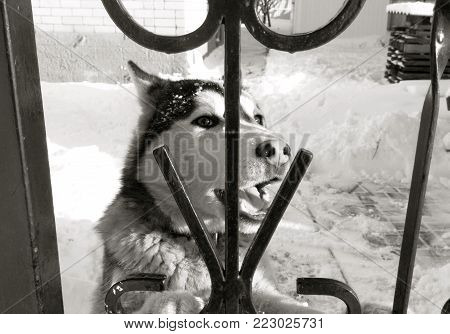 Pet pet pet Siberian husky zoo shelter or captivity. Year of the dog. Husky or wolf on the background of snow behind an iron grating fence Black and white image