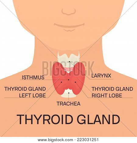 Thyroid gland diagram shown on a silhouette of a man. Body anatomy sign. Human endocrine system. Medical internal organ vector illustration.
